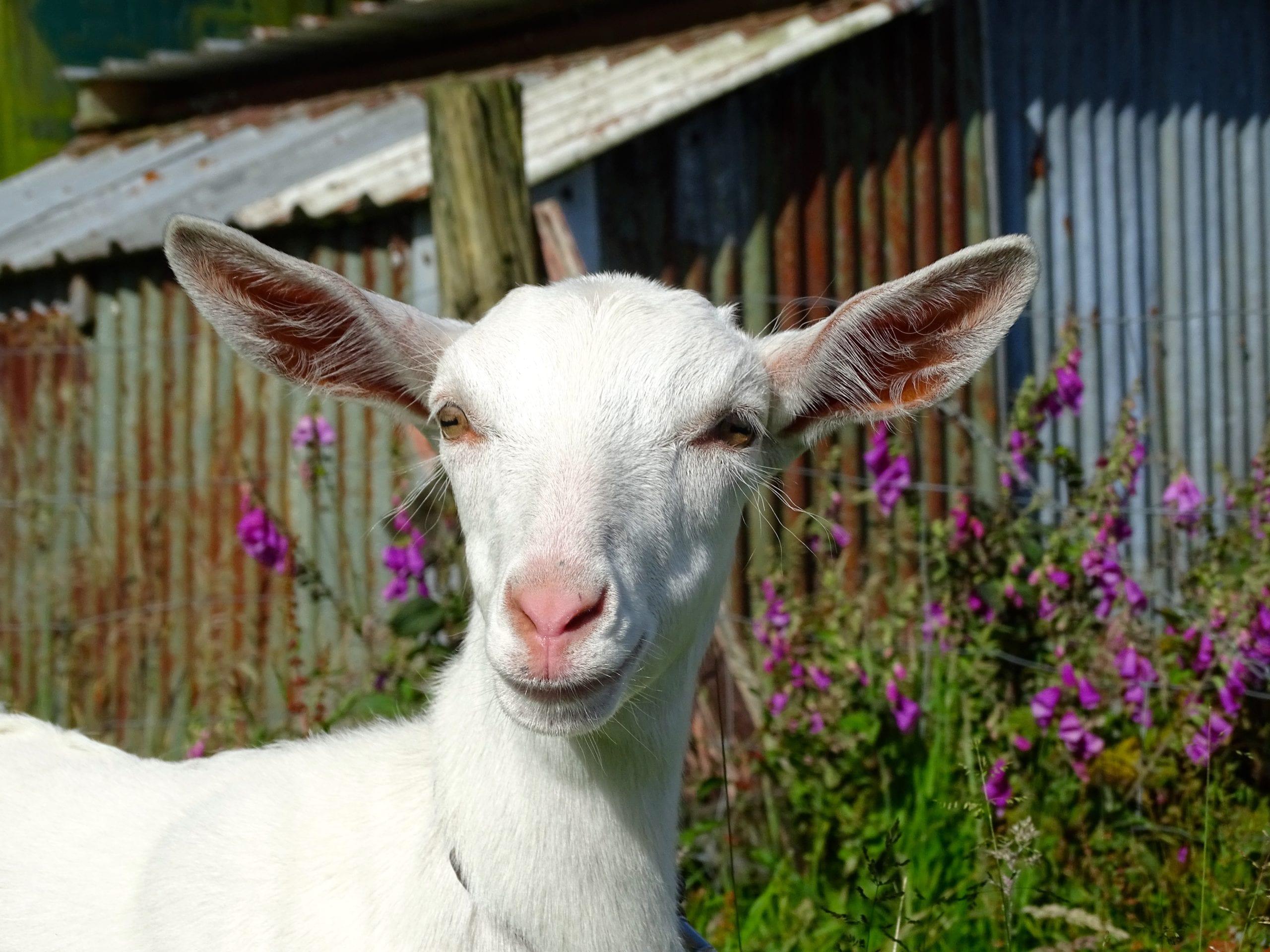 Paramata Lodge Luxury West Coast Accommodation - Goat